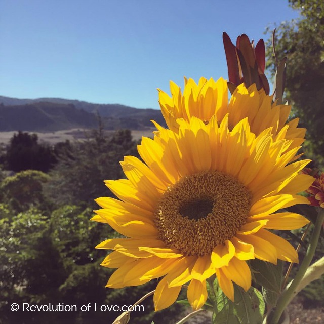 RevolutionofLove.com - odb_sunflower_10_23_16